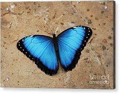 Blue Morpho #2 Acrylic Print by Judy Whitton