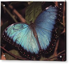 Acrylic Print featuring the photograph Blue Morpho by Bill Woodstock