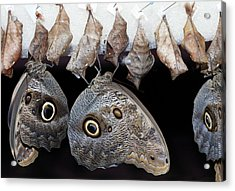Blue Morpho Butterflies And Cocoons Acrylic Print by Dirk Wiersma