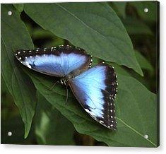 Blue Morpho Butterfly I. Acrylic Print