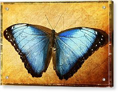 Blue Morpho Butterfly  Acrylic Print by Saija  Lehtonen
