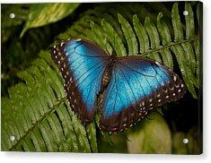 Blue Morpho Butterfly Acrylic Print by Sandy Molinaro