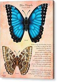 Blue Morpho Butterfly Acrylic Print by Tammy Yee