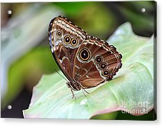 Acrylic Print featuring the photograph Blue Morpho Butterfly by Teresa Zieba