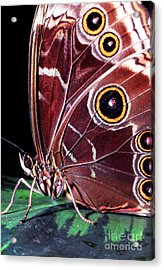 Blue Morpho Butterfly Acrylic Print by Thomas R Fletcher