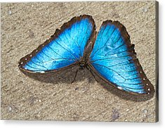 Acrylic Print featuring the photograph Blue Morpho by John Hoey