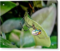 Acrylic Print featuring the photograph Blue Orbweaver by TK Goforth