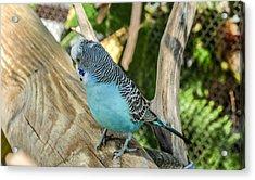Blue Parakeet Acrylic Print by Renee Barnes