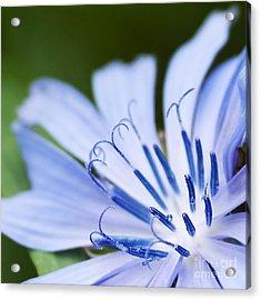 Blue Poetry.. Acrylic Print by Nina Stavlund
