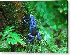 Blue Poison Dart Frog Acrylic Print by DejaVu Designs