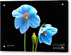 Blue Poppy Flowers # 4 Acrylic Print by Jeannie Rhode
