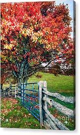 Blue Ridge - Fall Colors - Autumn Maple Tree Fence Gate I Acrylic Print by Dan Carmichael
