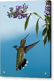 Blue Ridge Hummingbird Acrylic Print