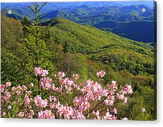 Blue Ridge Parkway Rhododendron Bloom- North Carolina Acrylic Print by Mountains to the Sea Photo
