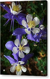 Blue Saphire Columbine Acrylic Print by Bruce Bley