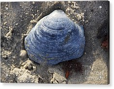 Blue Shell Acrylic Print by Michael Mooney