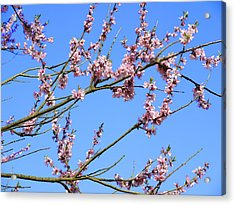 Blue Sky And Pink Blossom. Acrylic Print