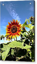 Blue Sky And Sun Flower Acrylic Print