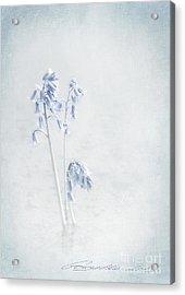 Blue Softness Acrylic Print