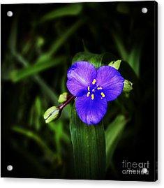 Blue Spiderwort  Acrylic Print by Jinx Farmer