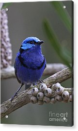 Blue Splendid Wren Acrylic Print by Serene Maisey