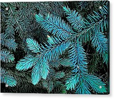 Blue Spruce Acrylic Print by Daniel Thompson