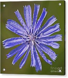 Blue Star... Acrylic Print by Nina Stavlund