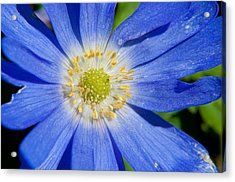 Blue Swan River Daisy Acrylic Print by Tikvah's Hope