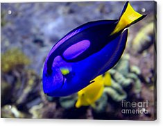 Blue Tang Dory Acrylic Print