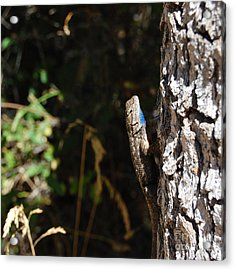 Acrylic Print featuring the photograph Blue Throated Lizard 1 by Debra Thompson