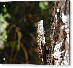 Acrylic Print featuring the photograph Blue Throated Lizard 2 by Debra Thompson