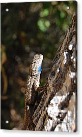 Acrylic Print featuring the photograph Blue Throated Lizard 4 by Debra Thompson