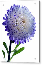 Blue Tipped Aster Acrylic Print by Terence Davis