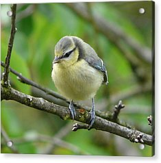 Blue Tit In A Cherry Tree Acrylic Print by Valerie Ornstein