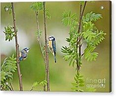 Blue Tit Pair Acrylic Print by Liz Leyden