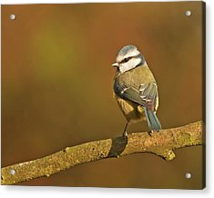 Acrylic Print featuring the photograph Blue Tit by Paul Scoullar