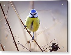 Blue Tit Acrylic Print by Science Photo Library