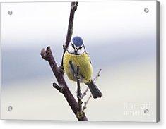 Blue Tit Acrylic Print