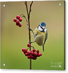 Blue Tit With Hawthorn Berries Acrylic Print by Liz Leyden