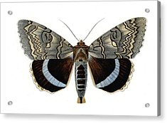 Blue Underwing Moth Acrylic Print by Collection Abecasis