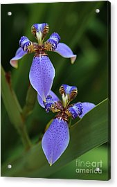Blue Walking Iris Acrylic Print by Carol Groenen