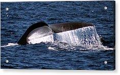 Blue Whale Flukes 2 Acrylic Print by Valerie Broesch