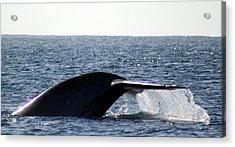 Blue Whale Flukes Acrylic Print by Valerie Broesch