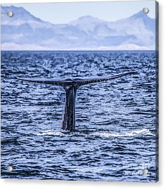 Blue Whale Fluking - Sea Of Cortez Acrylic Print by Liz Leyden