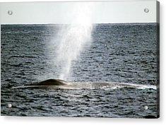 Blue Whale Spout Acrylic Print by Valerie Broesch