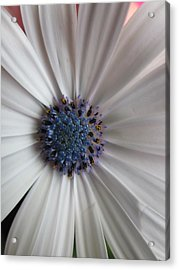 Blue-white Loveliness Acrylic Print