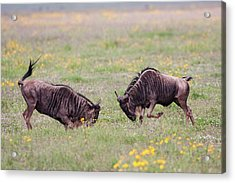 Blue Wildebeest Connochaetes Taurinus Acrylic Print by Photostock-israel