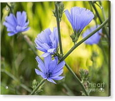 Blue Wildflwer Acrylic Print