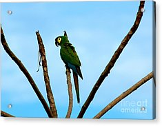 Blue-winged Macaw, Brazil Acrylic Print by Gregory G. Dimijian, M.D.