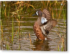 Acrylic Print featuring the photograph Blue-winged Teal by Ram Vasudev